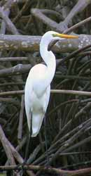 Great Egret in Chacahua