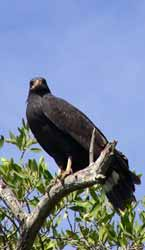 Hawk in Chacahua