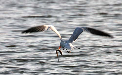 bird flying with fish in mouth in Lagunas de Chacahua
