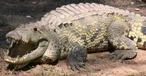 Crocodile side view with chompers
