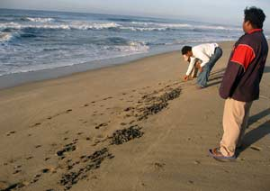 Turtle workers setting the newly hatched tortugas to the sea
